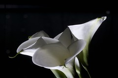 black and white (christophhornung142) Tags: white black flower floral beauty whiteflower calla sony flash simplicity alpha blume drama elegance whitelily onblack on whitelilies floralbeauty whitebeauty blackon beautyfloral lilycalla
