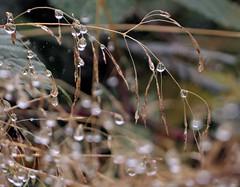 Patience and virtue (Dazzygidds) Tags: bokeh attenborough raindrops grasses fragile nottinghamshire attenboroughnaturereserve