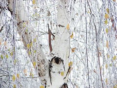 first snow (Ninquelen) Tags: winter snow tree leaves frost branches birch naturw