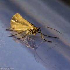 caddis reflection (Drons Photography) Tags: mountains macro reflection alaska bug insect nikon adult ak aquatic entomology caddis caddisfly trichoptera drons ecodrons