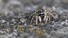 Zebra-Springspinne (Salticus scenicus) - Weibchen (AchimOWL) Tags: macro nature animals insect tiere spider natur spinne makro insekt raynox gx7