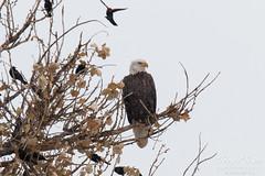 Bald Eagle tolerates annoying blackbirds