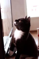 Stella (alindinlarsson) Tags: baby white black cute cat tv cozy eyes sweetheart katt svart bebis vit hjärta älskling loocking ögon tassar hjärtat gosig