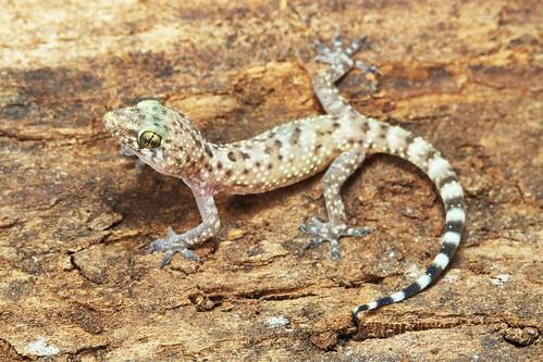 Herps Of Arkansas Mediterranean Gecko Hemidactylus Turcicus