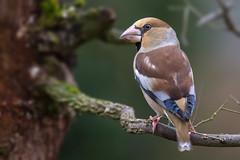 Casse-noyaux (kookaburra 81) Tags: bird tarn oiseau hawfinch grosbeccassenoyaux coccothraustescoccothraustes fringillids passriformes