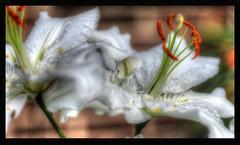 SAM_3257_tonemapped (Andrew Kettell) Tags: plant flower garden lily pollen