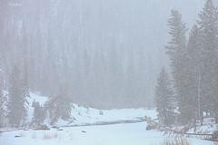 Snowing Harder Now (Merry Christmas) (wyojones) Tags: road christmas trees snow river canyon snowing wyoming np cody northfork volcanicrock lodgepolepines shoshonenationalforest whishes yellowstonehighway eastentranceroad absorokamountains wyojones wishingforawhitechristmas northforkoftheshoshoneriver northforkcanyon absorokavolcanics