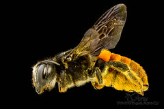 Fire-tailed Resin Bee (Individual 2) (Jbdorey) Tags: macro nature animal insect james focus australian stack entomology hymenoptera dorey familymegachilidae firetailedresinbee chalicodomamystaceana megachilecallomegachilemystaceana jbdorey