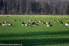 groep grauwe ganzen (marcelhendriks67) Tags: vogels grauweganzen 2015natuur