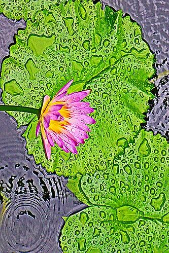 lotus flower in the rain