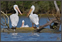 Don't look at him!!! (WanaM3) Tags: lake tree bird nature water nikon texas wildlife bayou pasadena canoeing paddling americanwhitepelican clearlakecity mudlake armandbayou d7100 avianexcellence wanam3 nikond7100