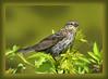 After Milady's Bath (Vidterry) Tags: handheld redwingedblackbird iso500 femaleredwingedblackbird kenko14xtc ev23 550mm nikkor80400mm 1500thf10