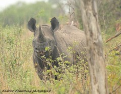 Black Rhino (drumon13) Tags: southafrica rhino blackrhino krugernationalpark andrewarmstrong