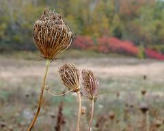 Wild carrot (halifaxlight) Tags: autumn red canada green fall closeup beige novascotia bokeh wildflower queenanneslace annapolisvalley canning wildcarrot
