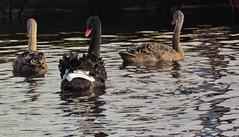 Black swan with two cygnets (Elisa1880) Tags: black bird netherlands leiden swan nederland waterbird vogel zwarte zwaan heempark