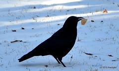 DSC_0293 (rachidH) Tags: snow black nature birds nj corneille neige sparta crow oiseaux corvusbrachyrhynchos americancrow corbeau corvus corvidae corneilledamrique rachidh