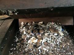 May's caretakers (DerekTP) Tags: diesel may railway mice locomotive swanage fowler shunter 4210132