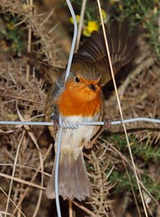 2015_01_0089 (petermit2) Tags: robin erithacusrubecula yorkshire barnsley rotherham southyorkshire rspb oldmoor dearnevalley
