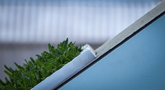 Sir Walter Buffalo Grass (Theen ...) Tags: green grass real lumix hardware store panel angle display box cut cyan sample adelaide bunnings rundlestreet 45degree theen kenttown sirwalterbuffalo