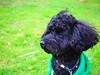 P5050028 (mina_371001) Tags: camping dog pet animal japan model hokkaido handsome toypoodle photographywork olympusomdem10