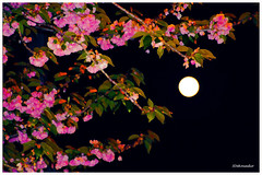 Full Moon (painting) (Stephenie DeKouadio) Tags: pink flowers sunset sky moon color colour art beautiful beauty canon painting photography spring colorful branch image artistic blossom outdoor branches lovely imagery