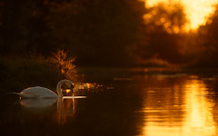 'Sunset at Ironmonger's Pond' (Jonathan Casey) Tags: nottingham sunset swan nikon f2 vr 200mm d810