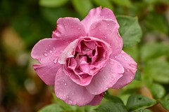 Drenched (brev99) Tags: water rose drops spring d7100 nikviveza topazdenoise cacorrection tamron70300vc dxooptics8