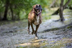 running at high speed I. (Tams Szarka) Tags: dog pet nature animal forest puppy outdoor running boxerdog
