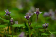 don't turn around... (simona.photo) Tags: flowers spring nikon natura ste d7000 tamron90mmf28dimacrovcusdf2004