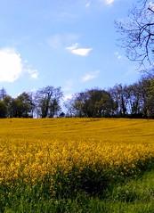 Le colza (Doonia31) Tags: france fleurs jaune plante champs culture vert bleu ciel arbres agriculture nuages paysage campagne printemps fleuri herbe colza gers