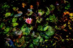 Lily pond (catkin314) Tags: flowers abstract colour water dark multipleexposure waterlillies lillypond