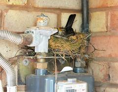 Guarding the Gas (robmcrorie) Tags: door bird back nest gas meter blackbird warwickshire
