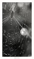nambucca Heads nsw 2448 - Macro (marcel.rodrigue) Tags: macro nature photography spider web australia nsw newsouthwales midnorthcoast jkamidnorthcoast marcelrodrigue