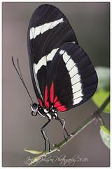 Doris Longwing Butterfly (Jeffrey Johnson ~~shutter_fringe) Tags: flowers macro colors butterfly insect wings nikon butterflies micro brightcolors dorislongwing nikond500 nikon105micro
