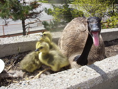 mama goose 011 (marls3) Tags: mothergoose mamagoose