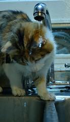 Runi (siinestesiia) Tags: water cat photography agua nikon kitten gatita grifo mojado canilla lavado runi nikond5200