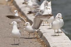 DUD_3762r (crobart) Tags: lake ontario bird birds port gull erie dover ringbilled
