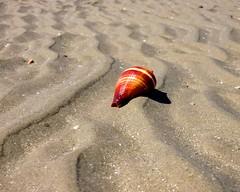 IMG_0276 (Tina A Thompson) Tags: sonora seashells mexico sealife seashell marinebiology tidepools seaofcortez marinelife chollabay mexicobeaches chollabaymexico