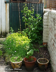 May 29th, 2016 Zone 1 shed area (karenblakeman) Tags: uk garden beans herbs may pots permaculture caversham peartree 2016 zone1 cavershamgarden 2016pad