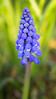 From the Garden 2015 (janeway1973) Tags: garden garten 2015 flower plant blossoms blüte pflanze blume hyazinthe traubenhyazinthe grape hyacinth macro makro