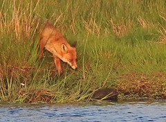 4 6 16 Fox and Mink (Euphorbia2010) Tags: cumbria fox mink solwayestuary oncampfieldmarshrspbreserve hidepool