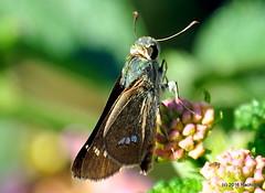 DSC_0745 (rachidH) Tags: flowers nepal lake nature blossoms butterflies insects blooms lantana pokhara fewa phewa papillons skipperbutterfly chestnutbob lambrixsalsala rachidh