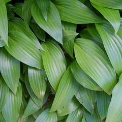 Green (leaves) (jakerome) Tags: newengland lumixg20f17