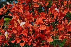 Royal Poinciana (ACEZandEIGHTZ) Tags: red macro tree closeup nikon tropical flowering regina fabaceae ornamental flamboyant flametree flamboyan delonix firetree d3200
