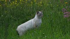 Cat (mih.mih4) Tags: cat chat feles felis field nature neko summer meadow gato gatto   kater katt kato kissa kitten katze kitty    ruralarea canon cats countryside