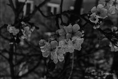 WP-IMG_0049-hloubetin (Sarka Tesik) Tags: flower nature spring nikon tram trafic hostavice f801 fomapan kromlau rakotzbrucke