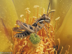 Spur-throated Grasshopper (Bryan Maltais) Tags: select olympusomdem5ii supermacro macro bugs insects grasshopper colorado