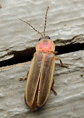 Small firefly (Anita363) Tags: male june fauna yard insect newjersey beetle nj highlandpark firefly unidentified coleoptera lampyridae photinus elateroidea polyphaga
