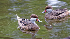 DSC08581_DxO (Franck Zumella) Tags: reflection bird water rouge duck eau teal bec reflexion oiseau canard brun mottled redbilled