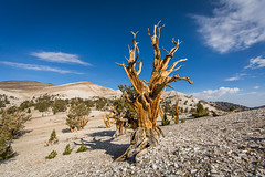 Bristlecone Pine (Jeffrey Sullivan) Tags: california copyright usa tree pine canon photo august bishop allrightsreserved 2012 bristlecone easternsierra inyonationalforest monocounty jeffsullivan